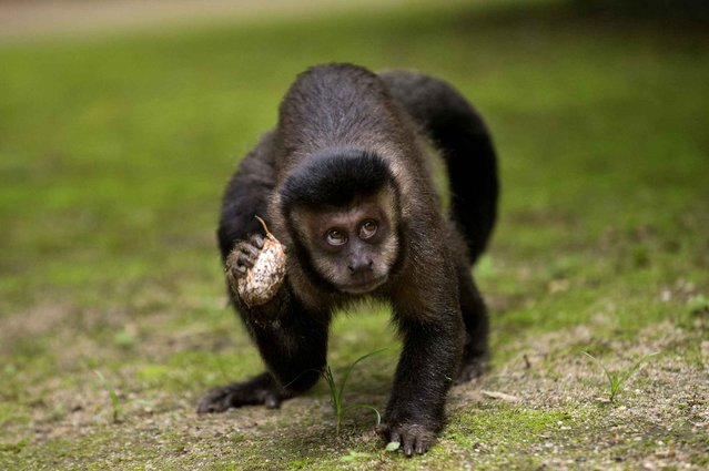A brown capuchin monkey holds a fruit in the Botanic Garden of Rio de Janeiro, Brazil, on July 5, 2013. (Photo by Pablo Porciuncula/AFP Photo)