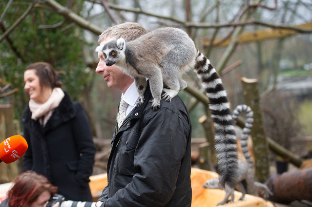 "Ring Tailed Lemurs explore the new ""In With The Lemurs"" walk-through enclosure at The ZSL London Zoo, London, England, UK on Thursday 26th March, 2015. (Photo by Justin Ng/Retna Pictures/UPPA/ZUMA Wire)"