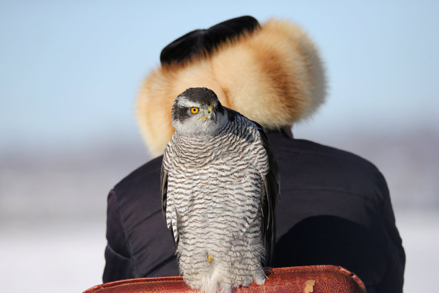 A tamed hawk sits on a chair next to a participant during a traditional hunting contest in Almaty, Kazakhstan December 1, 2018. (Photo by Pavel Mikheyev/Reuters)