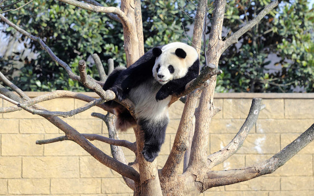 A giant panda rests on a tree at Hangzhou's zoo, Zhejiang province January 1, 2014. (Photo by Reuters/China Daily)