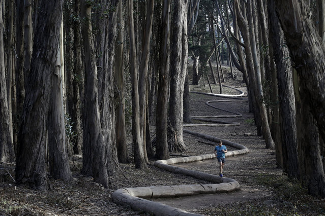 Tim Green, of Sidney, Australia, jogs on top of the sculpture Wood Line by artist Andy Goldsworthy along an eucalyptus grove in The Presidio on Tuesday, January 7, 2014, in San Francisco. (Photo by Marcio Jose Sanchez/AP Photo)