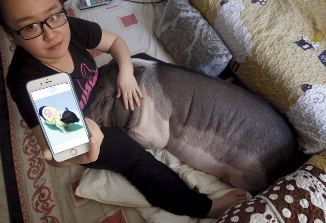 Zhu Roumeng shows an old picture of her pet pig Wuhua, which was taken when the pig was small, in her house in Beijing April 22, 2015. (Photo by Kim Kyung-Hoon/Reuters)