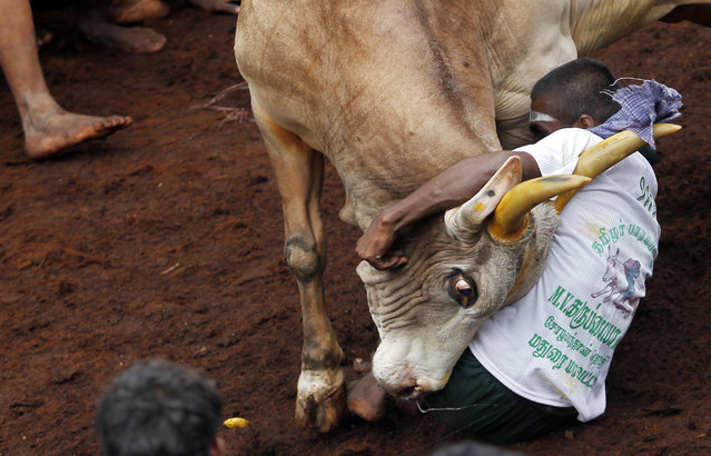 A participant tries to hold on to a bull during a bull-taming sport, called Jallikattu, in Alanganallor, about 424 kilometers (264 miles) south of Chennai, India, Thursday, January 16, 2014. (Photo by Arun Sankar K./AP Photo)
