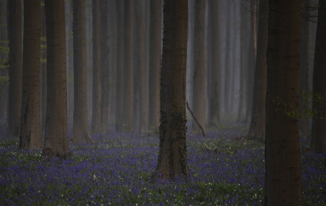 Morning fog begins to lift as bluebells, also known as wild Hyacinth, bloom on the forest floor of the Hallerbos in Halle, Belgium, Tuesday, April 20, 2021. There is no stopping flowers when they bloom or blossoms when they burst in nature, but there are efforts by some local authorities to limit the viewing. Due to COVID-19 restrictions visits to the forest to see the flowers has been discouraged for a second year in a row. (Photo by Virginia Mayo/AP Photo)