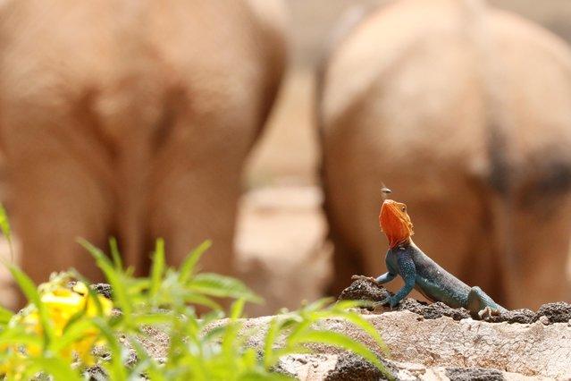 A monitor lizard catches an insect at Ngulia Safari Lodge, one of Kenya's most popular safari destinations, amid the impact of the coronavirus disease (COVID-19) pandemic, at Tsavo West National Park in Tsavo region, Kenya, September 21, 2021. (Photo by Jackson Njehia/Reuters)