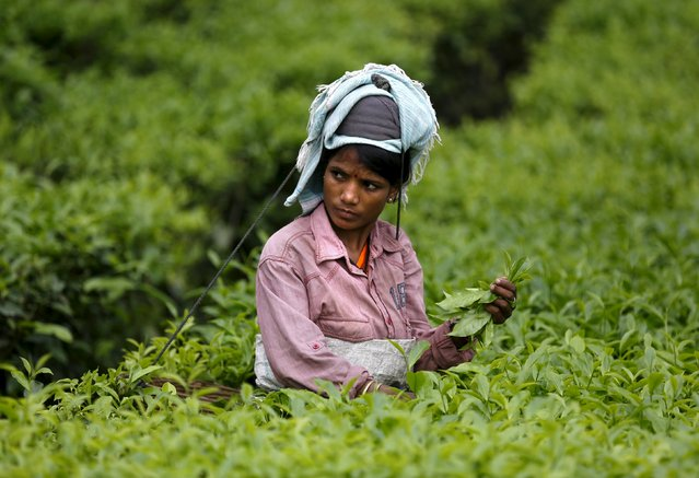 A tea garden worker plucks tea leaves inside Aideobarie Tea Estate in Jorhat in Assam, India, April 21, 2015. (Photo by Ahmad Masood/Reuters)
