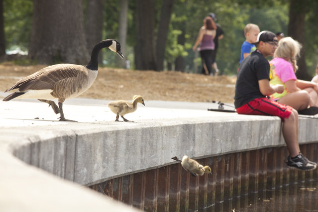 A gaggle of geese, including three goslings, make the plunge into the Noble Park pond Sunday, May 10, 2015, as park patrons enjoy the sunny afternoon in Paducah. (Photo by John Paul Henry/The Paducah Sun via AP Photo)