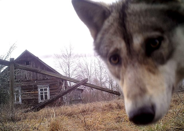 A wolf looks into the camera at the 30 km (19 miles) exclusion zone around the Chernobyl nuclear reactor in the abandoned village of Orevichi, Belarus, March 2, 2016. (Photo by Vasily Fedosenko/Reuters)