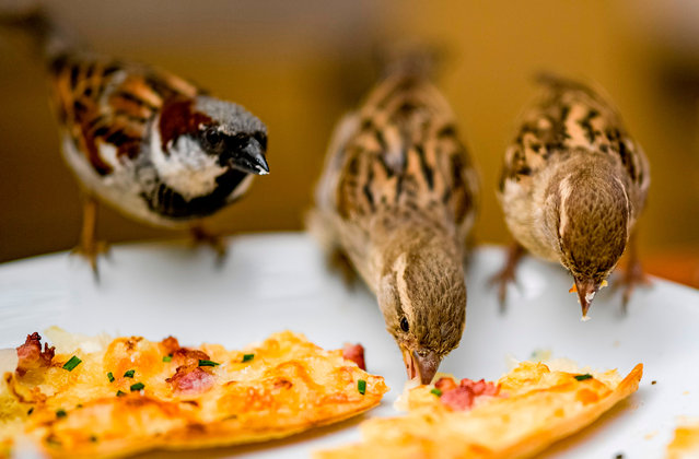 Sparrows enjoy the leftovers of a tarte flambée in a cafe in Hamburg, Germany on July 5, 2019. (Photo by Axel Heimken/AFP Photo)