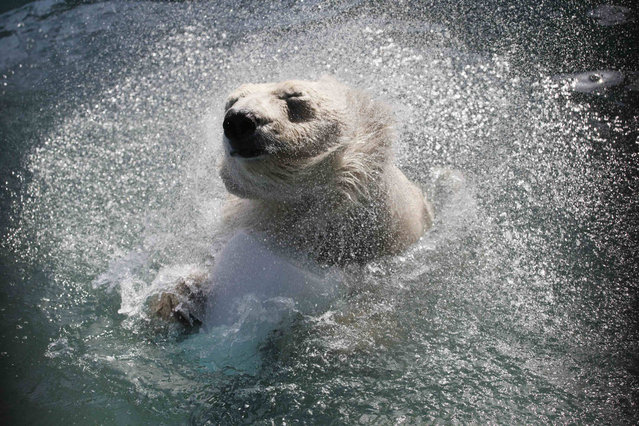Aurora, a four-year-old female polar bear, swims in a pool for the first time in the season, with the air temperature at about 20 degrees Celsius (68 degrees Fahrenheit), at the Royev Ruchey zoo in a suburb of Russia's Siberian city of Krasnoyarsk, April 4, 2014. (Photo by Ilya Naymushin/Reuters)