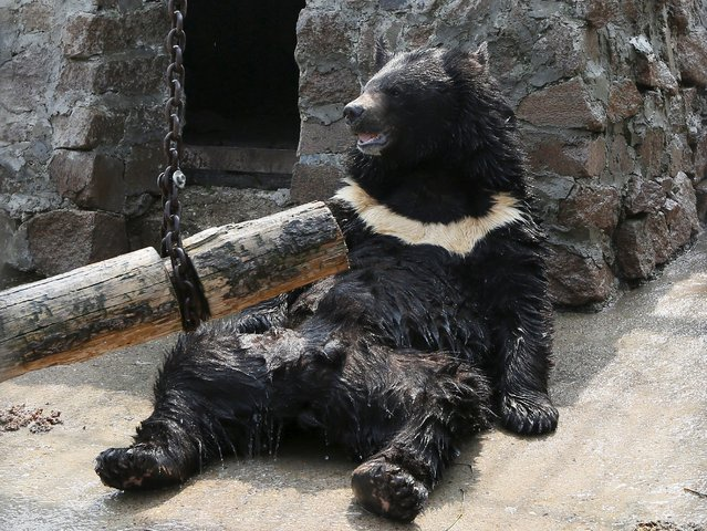Yozhik, a male Himalayan bear, sits while an employee cools him with a stream of water, at the Royev Ruchey zoo, on the suburbs of the Siberian city of Krasnoyarsk, Russia, July 3, 2015. The air temperature reach 33 degrees Celsius (91 degrees Fahrenheit). (Photo by Ilya Naymushin/Reuters)