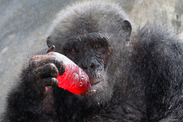 A chimpanzee drinks a sweet refreshment as it is sprayed with water on a hot day at Dusit zoo in Bangkok, Thailand, March 30, 2017. (Photo by Chaiwat Subprasom/Reuters)