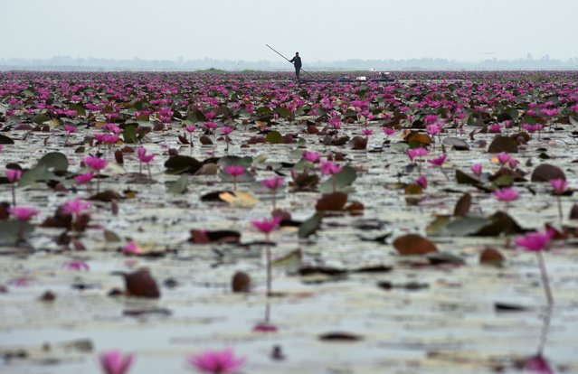 A Thai villager paddles boat as he fishing at lake in Udon Thani province on April 4, 2014. (Photo by Pornchai Kittiwongsakul/AFP Photo)