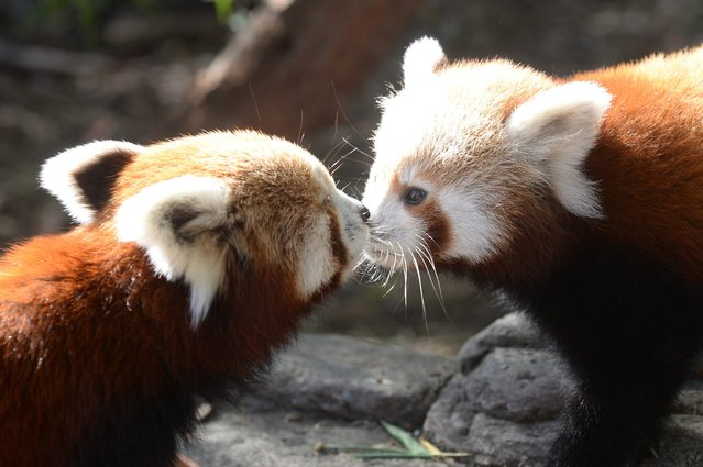 One of the two Red Panda cubs (right) born at the National Zoo and Aquarium gets a kiss from its mother Eilisha in Canberra, Australia, 08 May 2014. The Red panda is native to the eastern Hiimalaya's and China and is a threatened species. (Photo by Alan Porritt/EPA)