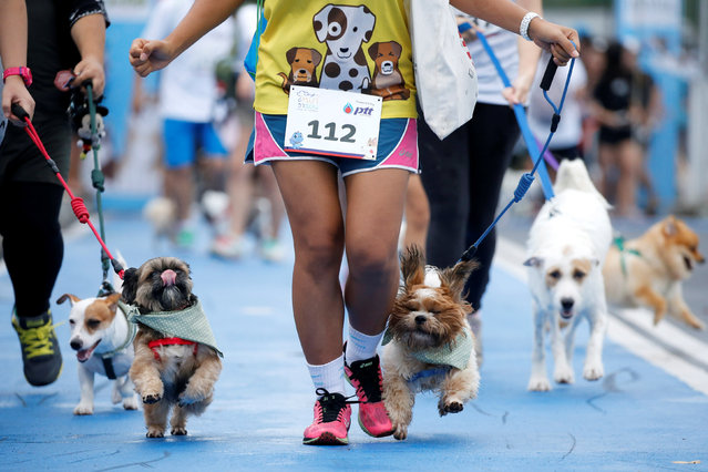 "People run with their pets during a mini-marathon for dogs in Bangkok, Thailand May 7, 2017. From tiny chihuahuas to 60 kg (130 lb) mastiffs, hundreds of dogs and their owners jogged through a Bangkok park on Sunday to raise money for charity. Nobody was racing against the clock at the ""Maa-Rathon"" – maa is Thai for dog – and there was no prize for the fastest dog and owner around the 1.7 km (1.1 mile) course. Entrants paid $30 per dog to raise funds for a new building at the Siriraj Hospital. ""This way dogs can also contribute to help humans"", said organizer Pimpicha Utsahajit. The event started early to avoid temperatures above 36 degrees Celsius (98 Fahrenheit) later in the day. (Photo by Jorge Silva/Reuters)"