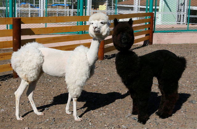 Alpacas Romeo (R) and Juliette, one-year old and two-year old, are pictured after they were groomed inside their open air cage at the Royev Ruchey Zoo in the suburbs of Krasnoyarsk, Siberia, Russia, May 24, 2016. (Photo by Ilya Naymushin/Reuters)