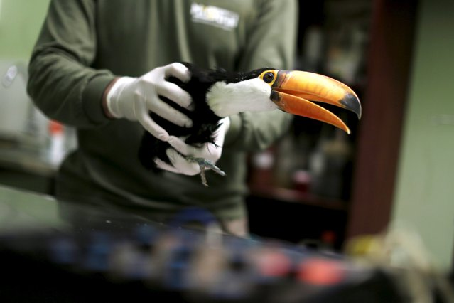 A toucan that has a fractured leg receives electroacupuncture treatment at the veterinary hospital in Brasilia Zoo, July 30, 2015. (Photo by Ueslei Marcelino/Reuters)