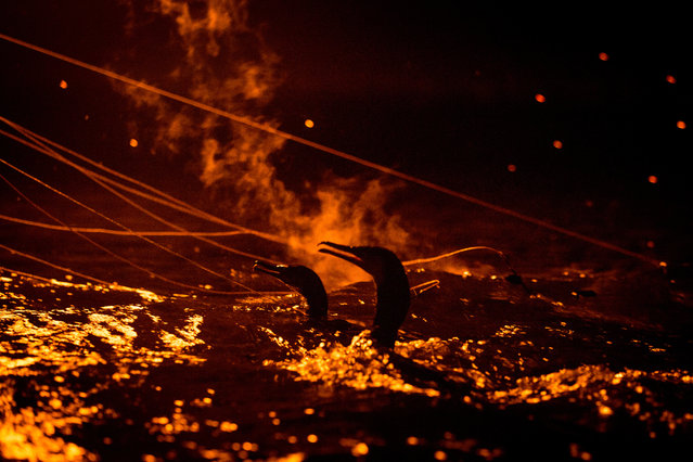"""Sea cormorants are seen illuminated by fire as they work to catch sweetfish on July 2, 2014 in Gifu, Japan. In this traditional fishing art """"ukai"""", a cormorant master called """"usho"""" manages cormorants to capture ayu or sweetfish. The ushos of River Nagara have been the official staff of the Imperial Household Agency of Japan since 1890. Currently six imperial fishermen of Nagara River conduct special fishing to contribute to the Imperial family eight times a year, on top of daily fishing from mid-May to mid-October. (Photo by Chris McGrath/Getty Images)"""