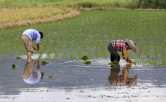 Farmers transplant rice seedlings on a paddy field in Daxiang village of Liuzhou, Guangxi Zhuang Autonomous Region, China, July 30, 2015. Global rice prices are likely to surge by 10 percent to 20 percent in the next few months as an El Nino weather pattern grips top producers in Asia, baking the region's croplands and whittling down stocks of the grain to multi-year lows. (Photo by Reuters/China Daily)