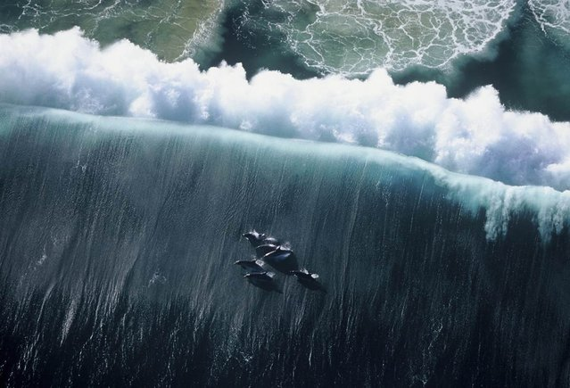 Huglin took this photograph from a helicopter about 1,000 to 1,200 feet above the water. The dolphins are surfacing after a wave has broken, and the color of the water is altered by a plankton bloom