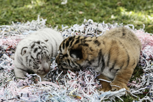 Two new born Bengal tiger cubs are seen at Bali Zoo on August 12, 2015 in Gianyar, Bali, Indonesia. (Photo by Putu Sayoga/Getty Images)