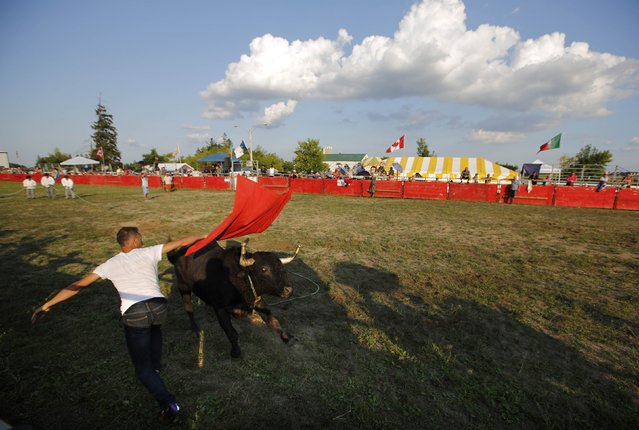"""Matador Marco Espinola, who emigrated two years ago from the Azores, taunts a fighting bull during an Azorean """"tourada a corda"""" (bullfight by rope) in Brampton, Ontario August 15, 2015. (Photo by Chris Helgren/Reuters)"""