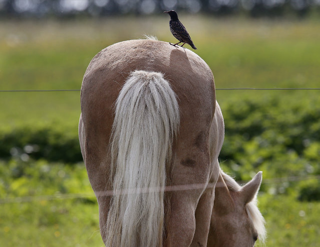 A bird sits on the back of an grazing Iceland horse in a paddock near Frankfurt, Germany, Thursday, August 17, 2017. (Photo by Michael Probst/AP Photo)