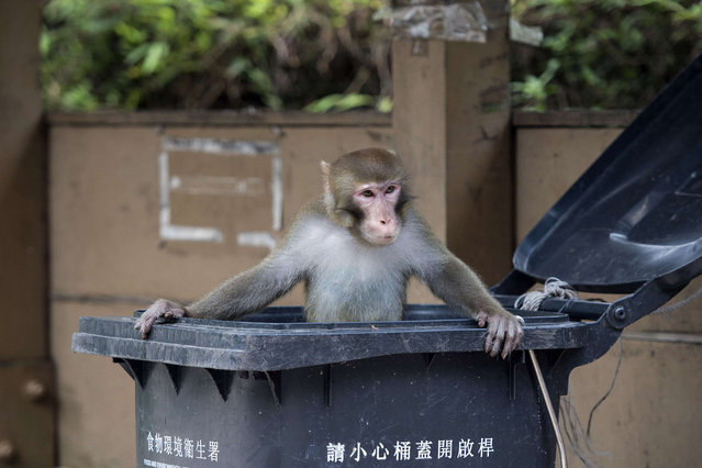 A macaque monkey emerges from a waste bin after searching for food in a country park in Hong Kong on August 8, 2014. Monkey nuisance complaints in Hong Kong rose to 529 incidents last year, the highest in 5 years, according to government figures, with an increasing reliance on humans for food being blamed for growing aggression as their population expands in the territory's country parks. (Photo by Alex Ogle/AFP Photo)