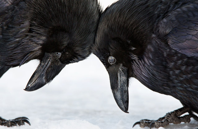 Amateur honorable mention | Common raven at Banff National Park in Alberta, Canada. (Photo by Colleen Gara/Audubon Photography Awards)