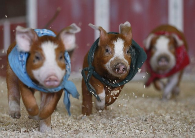 Pigs race at the Los Angeles County Fair in Pomona, Calif., on September 5, 2012. (Photo by Lucy Nicholson/Reuters)