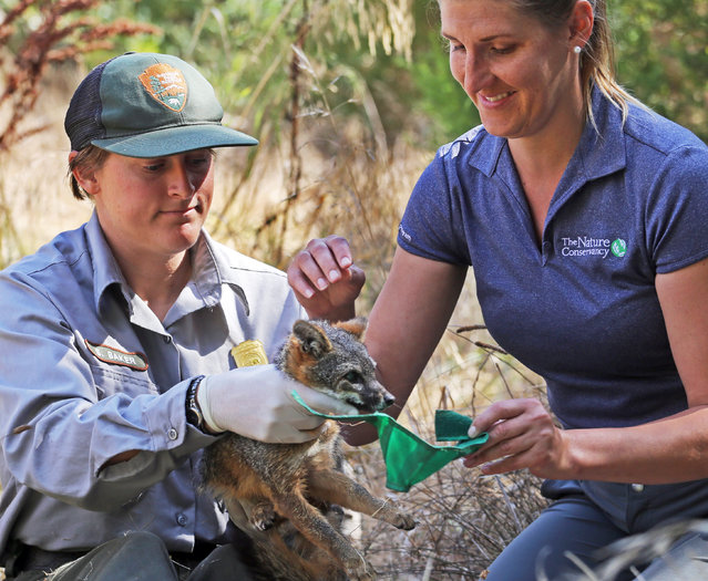 After being examined, biological science technician Stacy Baker, left, and Christie Boser, Nature Conservancy ecologist, prepare to release an approximately 3-year-old female island fox back into the wild on Santa Cruz Island in Channel Islands National Park, Calif., Thursday, August 11, 2016. (Photo by Reed Saxon/AP Photo)