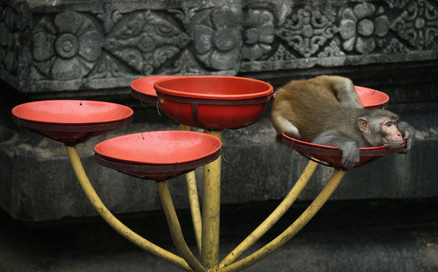 A monkey rests inside in a bowl where food is offered by devotees for birds and monkeys at the Kamakhya temple in Gauhati, India, Tuesday, October 16, 2012.  Kamakhya temple honors the Mother Goddess Kamakhya, the essence of female energy, and is believed to be the highest seat of Tantra or Hindu esoteric rituals. (Photo by Anupam Nath/AP Photo)