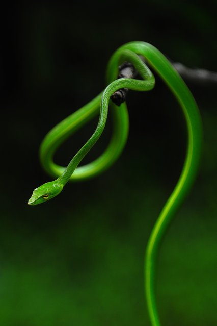 """Evergreen snake"". This non poisonous snake is commonly found in the evergreen forests commonly known as western ghats of India which is drenched in the monsoon rains for about 4 months in a year. It is highly difficult to spot this snake in the greenery as its color is a camouflage in the green surroundings. Photo location: Western ghats of Karnataka state, India. (Photo and caption by Mahesh Hegde/National Geographic Photo Contest)"