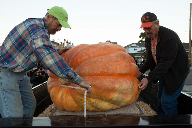 Brant Bordsen, left,  and Jeff Johnson take official Great Pumpkin Commonwealth measurements of competing pumpkins at the 41st Annual Safeway World Championship Pumpkin Weigh-Off in Half Moon Bay, Calif., Monday, October 13, 2014. (Photo by Alex Washburn/AP Photo)