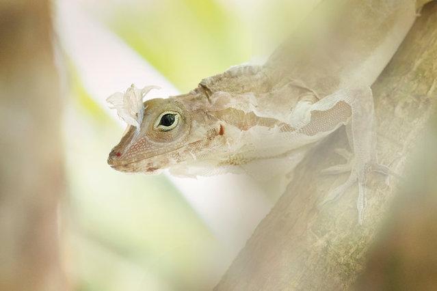 Up close and personal category winner: Roberto García Roa. Anolis lizard changing skin. (Photo by Roberto García Roa/University of Valencia/British Ecological Society)