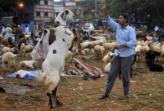 A boy tries to control a goat at a livestock market ahead of the Eid al-Adha festival in Bengaluru, India, September 22, 2015. (Photo by Abhishek N. Chinnappa/Reuters)