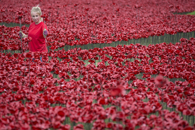 """A volunteer assembles a section of an installation entitled """"Blood Swept Lands and Seas of Red"""" by artist Paul Cummins, made up of 888,246 ceramic poppies, in the moat of the Tower of London to commemorate the First World War on July 28, 2014 in London, England. Each ceramic poppy represents an allied victim of the First World War and the display is due to be completed by Armistice Day on November 11, 2014. (Photo by Oli Scarff/Getty Images)"""