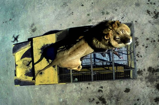Top view of a lion on the cage of a vehicle at the Safari Lion Zoo in Rancagua, Chile, on October 30, 2014. (Photo by Martin Bernetti/AFP Photo)