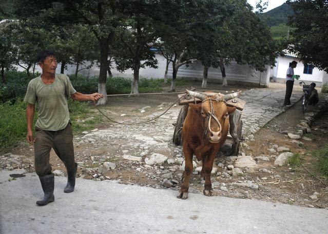 A man leads his cow to pull a cart near Wonsan, North Korea, Tuesday, August 18, 2015. (Photo by Dita Alangkara/AP Photo)