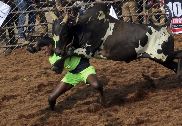"""An Indian villager tries to tame a bull during a traditional bull-taming festival called """"Jallikattu"""", in the village of Palamedu, near Madurai, Tamil Nadu state, India, Monday, January 15, 2018. Jallikattu involves releasing a bull into a crowd of people who attempt to grab it and ride it. (Photo by R. Parthibhan/AP Photo)"""