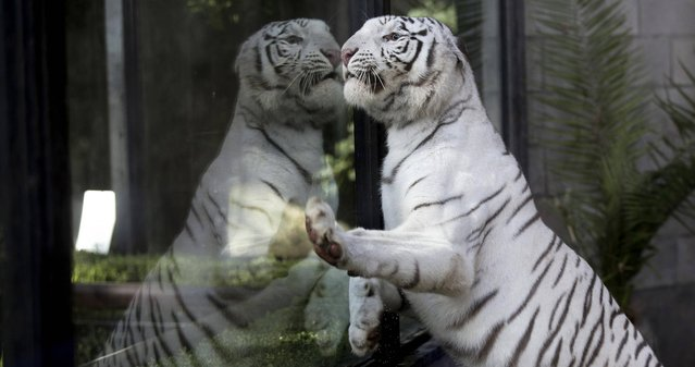 Cleo, a female Bengal white tiger, looks through a window from within her enclosure at the Buenos Aires Zoo in Argentina, Thursday, March 21, 2013.  Cleo gave birth to two female and two male cubs on January 14 at the Zoo. (Photo by Natacha Pisarenko/AP Photo)