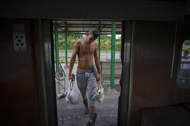 In this August 26, 2015 photo, a young man boards the electric Hershey train with two live goats at the Hershey train station in Cuba. He's traveling to Casablanca, a municipality in Havana where he'll sell his livestock. (Photo by Ramon Espinosa/AP Photo)