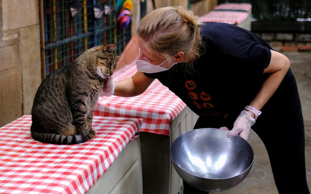 A volunteer pets a four-year-old street-born Zipi, a cat that serves to socialise other cats as they mirror his behaviour in accepting petting and food at El Jardinet dels Gats (Cats' Garden) in the Raval district, amid the coronavirus disease (COVID-19) outbreak, in Barcelona, Spain on September 21, 2020. (Photo by Nacho Doce/Reuters)