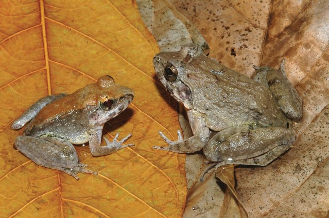 The newly described frog L. Larvaepartus, male (L) and female, are pictured from the island of Sulawesi in Indonesia, in this undated handout photo provided by Jim McGuire. This little amphibian from the rain forests of Indonesia's island of Sulawesi is the world's only frog that gives birth to tadpoles, eschewing the common froggy practice of laying eggs,scientists said on December 31, 2014. (Photo by Jim McGuire/Reuters)