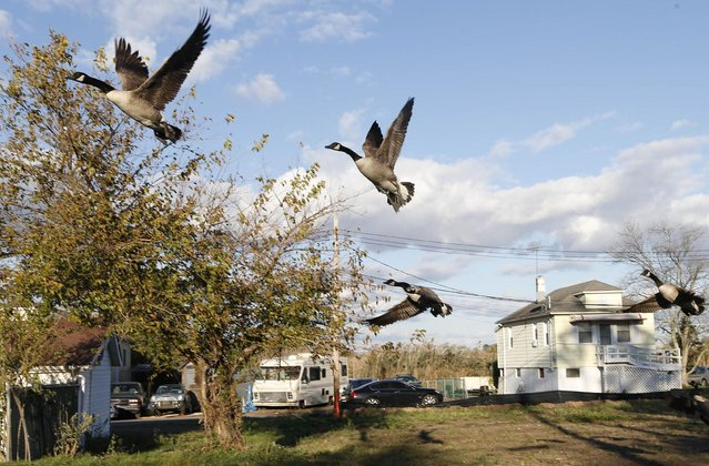 In this Tuesday, October 25, 2016 photo, a flock of Canada geese take to the sky from a vacant lot where a house was destroyed in the Oakwood Beach neighborhood of Staten Island, in New York, four years after Superstorm Sandy ravaged the area with it's deadly storm surge. The Staten Island neighborhood of Oakwood Beach, improbably built on a salt marsh, is slowly being returned to nature after state officials concluded it would be foolish to rebuild in a place with so little protection from the sea. Under a state buyout program, 196 homes have been demolished so far. Another 103 will soon meet the same fate. (Photo by Kathy Willens/AP Photo)