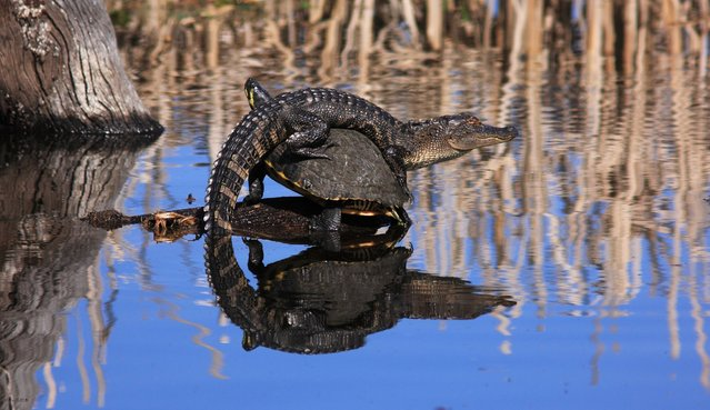 """Unexpected Alliance"". I have seen alligators and turtles together in ponds before, but never like this! I was at Bluebill Pond in Harris Neck NWR when I saw what I thought was an alligator sunning itself on a stump. As I got closer I realized that it was actually perched on the back of a turtle! I wish I had been there to witness how this surprising esprit de corps had came to pass! Location: Harris Neck National Wildlife Refuge, Townsend, GA, USA. (Photo and caption by Mary Ellen Urbanski/National Geographic Traveler Photo Contest)"