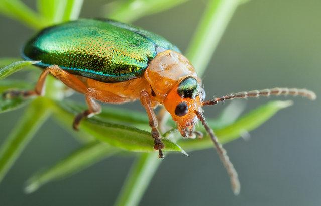 Shiny Leaf Beetle. Sermylassa halensis; Size: 6 mm. (John Hallmén)