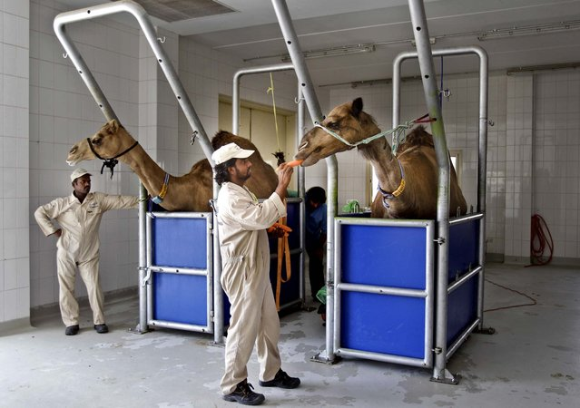A man feeds a camel a carrot at Camelicious farm in Dubai, United Arab Emirates, on July 3, 2013. The Dubai camel milk farm expects a bump in production after the UAE approved the first Middle Eastern country to export dairy products to Europe. (Photo by Kamran Jebreili/Associated Press)