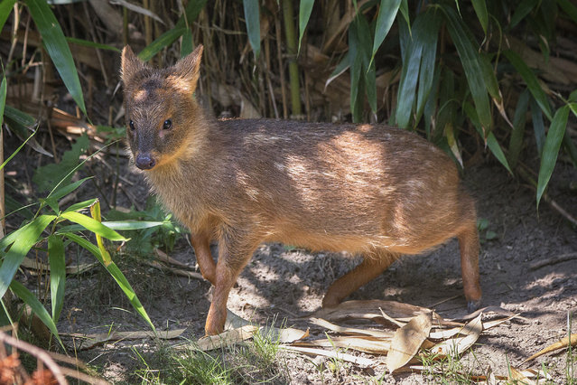 An endangered Southern Pudu, the world's smallest deer, is seen at The Wildlife Conservation Society's Queens Zoo in New York July 9, 2013. The Southern Pudu, which is native to Chile and Argentina, doe was born at the Zoo weighing one pound and could weigh as much as 20 pounds as an adult. (Photo by Shannon Stapleton/Reuters)