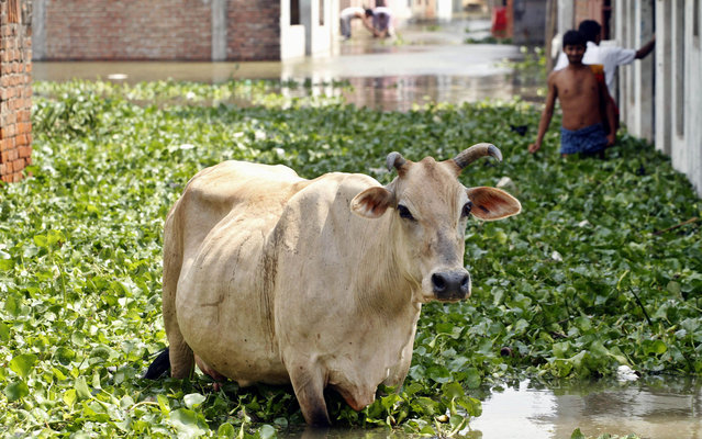 A cow wades through a flooded street filled with water hyacinth after monsoon rains in Allahabad, India on Aug 1, 2013. India's monsoon season, which runs from June through September, brings rains that are vital to agriculture but also cause floods and landslides. (Photo by Rajesh Kumar Singh/AP Photo)